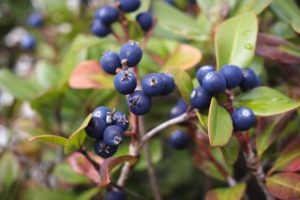 Bilberry extract Anthocyanin