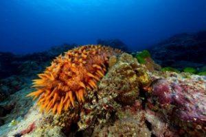 Sea Cucumber (Cucumaria frondos)